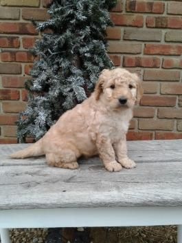 Goldendoodle Puppies For Sale Page 2 Lancaster Puppies Goldendoodle Puppy Goldendoodle Puppy For Sale Lancaster Puppies
