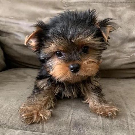Micro Teacup Yorkie For Sale & Puppy Therapy LLC Nico & (Male) Tiny Toy Yorkie & Puppy Therapy LLC Source by tamigrandma The post Nico & (Male) Tiny Toy Yorkie & Puppy Therapy LLC appeared first on Rowan& Labradors. Micro Teacup Yorkie, Mini Yorkie, Toy Yorkie, Teacup Yorkie For Sale, Yorkies For Sale, Yorkie Puppy For Sale, Yorkie Dogs, Cute Puppies, Cute Dogs