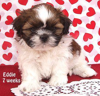 Shih Tzu puppies for sale in Indiana  Breeder of Shih Tzu