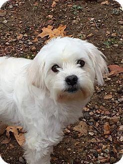 St Louis Mo Maltese Poodle Miniature Mix Meet Sookie A Dog