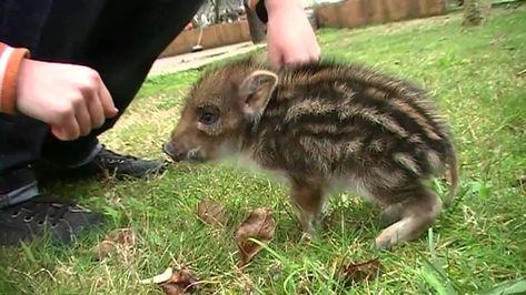 Un cinghialetto in casa! • A wild baby boar at home