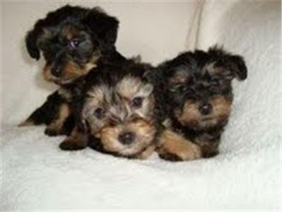 Suitable Pets For Young Children Is The Breed Suitable For Your Family Think Before Buying Or Picking Up Free Yorkshire Puppies Or Puppy Yorkie Puppies For Adoption Yorkshire Terrier Yorkshire