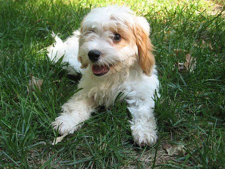 Pin On Puppies For Sale In Minnesota Mn