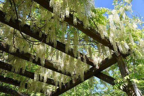 Plantes grimpantes pour pergola ou tonnelle | Plante ...