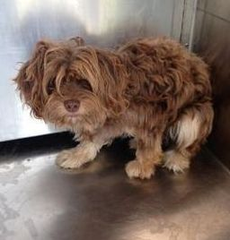 Urgent Needs Rescue Or Adoption My Name Is Stanley Shih Tzu Mix Male Shih Tzu Rescue Small Dog Breeds Pets