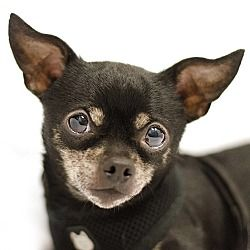 Asheville Nc Chihuahua Meet Creech A Pet For Adoption With