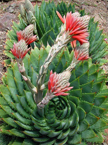 Aloe polyphylla - The Spiral Aloe - Flowers in the Spring