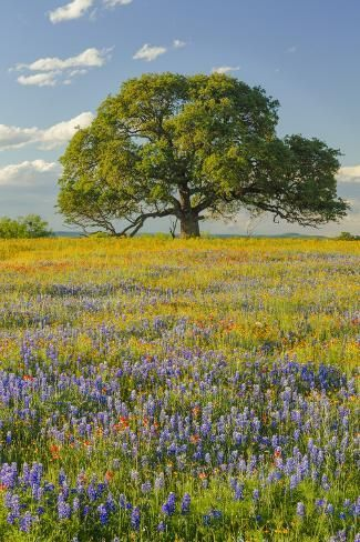 Photographic Print Large Oak Tree In Expansive Meadow Of Bluebonnets And Paintbrush Texas Hill Country Near Nature Aesthetic Beautiful Landscapes Landscape