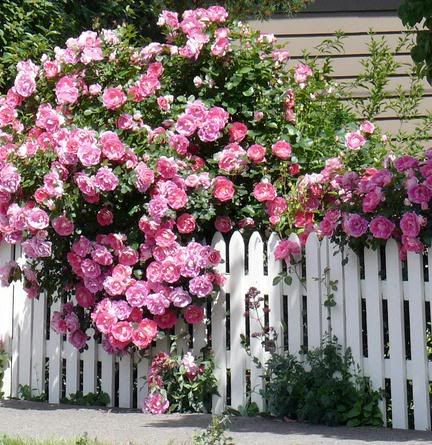 pink roses!