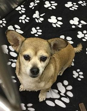 Pictures Of Baby A Chihuahua For Adoption In Martinsburg Wv Who