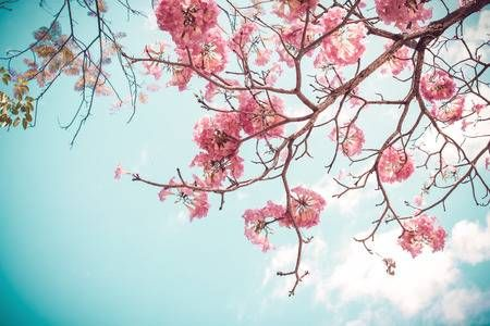 123rf Millions Of Creative Stock Photos Vectors Videos And Music Files For Your Inspiration And Projects Cherry Blossom Wallpaper Sakura Flower Sakura Tree