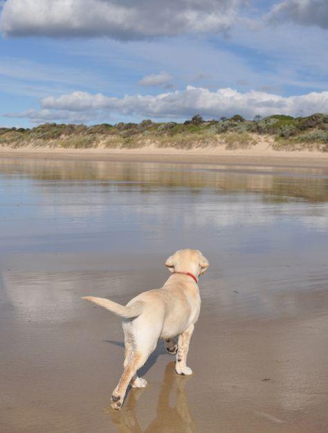 Year Old Gus At Greens Beach In Tasmania Labrador Labrador
