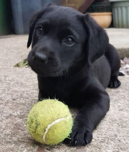 Fall In Labrador Love With Pictures Of Lab Puppies Black Chocolate And Yellow Labs Black Labrador Puppy Lab Puppies Puppies