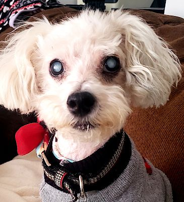 Adopt Bryant On Adoption Maltese Mix Small Breed