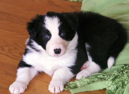 I Remember When Kip Was This Little Border Collies Are The Best