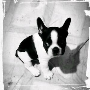 Welpen Hunde Und Welpen Kaufen Ebay Kleinanzeigen Small Black White Terrier Mix Puppy Stock Photo Edit Now 23 Best In 2020 Chihuahua Terrier Mix Terrier Terrier Mix