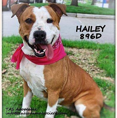 Spring Tx American Bulldog Meet Hailey A Dog For Adoption