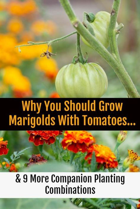 Growing marigolds (and some of these nine other plants) with your tomatoes will ensure a bountiful, tasty harvest free of pests and disease. ideas 10 Tomato Companion Plants To Get The Most Delicious Tomatoes This Year Tomato Companion Plants, Companion Planting, Growing Marigolds, Growing Vegetables, Planting Herbs, Plants, Home Vegetable Garden, Planting Garlic, Organic Gardening