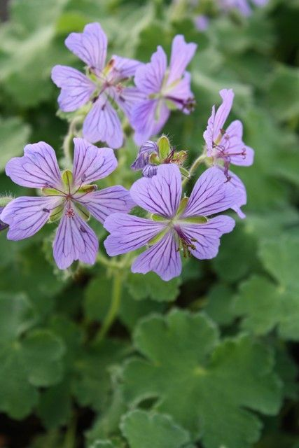 Part Sun - Geranium 'Philippe Vapelle' (Philippe Vapelle Hardy Cranesbill). Planted spring 2013 and wasn't thriving. Moved to sunnier location and is doing much better. Looks amazing 2016
