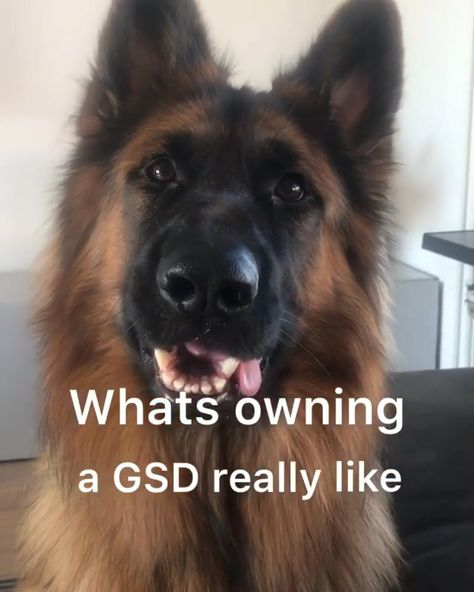 What owning a GSD is really like ... German Shepherd, German shepherds, German shepherd videos, German Shepherd memes, German shepherd photos#germanshepherd #germanshepherds#germanshepherdvideos#germanshepherdmemes#germanshepherdphotos