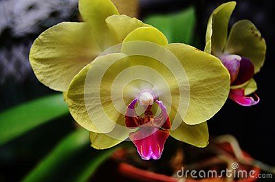 Phalaenopsis Is The Scientific Name For This Canary Yellow Orchid With A Pink Purple Center Lip Orchids Yellow Orchid Moth Orchid