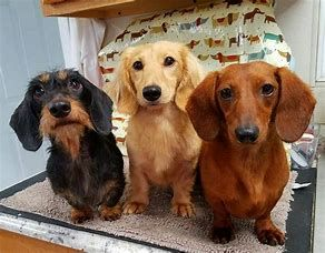 Image Result For Full Grown Mini Doxie Dachshund Breed