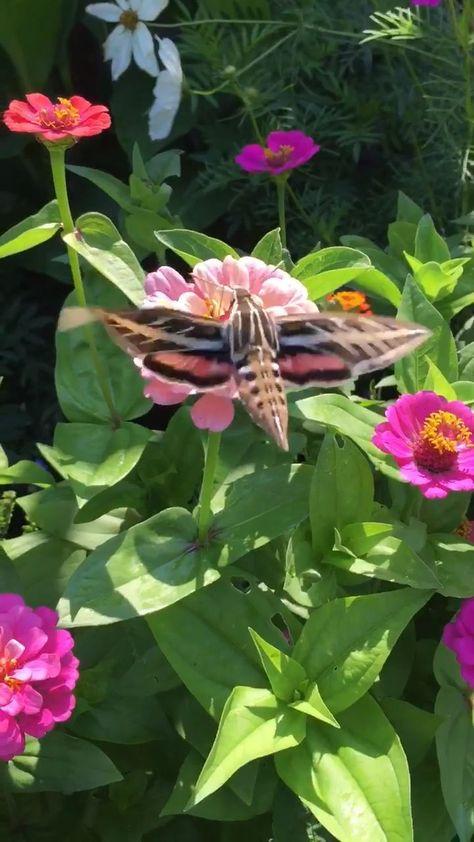 Hummingbird Moth! - #WildBirdScoop #hummingbirdidentification #howtoattracthummingbirds #hummingbirdfacts
