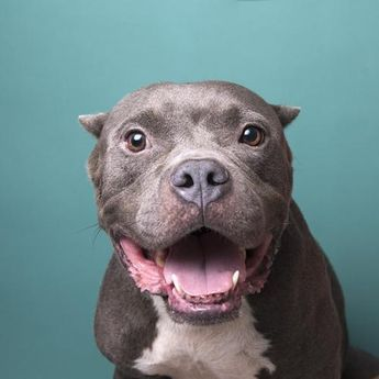 Adopt Athena On Pitbulls Pitbull Terrier Terrier Dogs