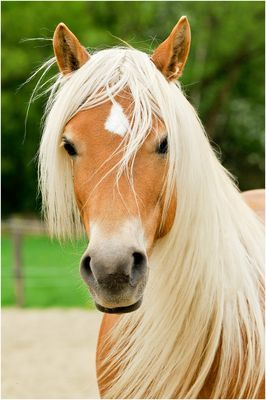 What A Beautiful Face Pferde Haflinger Pferde Tiere