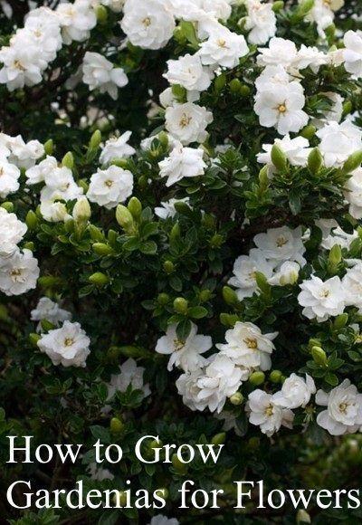 How To Grow Gardenias For Flowers Gardenia Gardenia Jasminoides