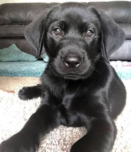 Fall In Labrador Love With Pictures Of Lab Puppies Black Chocolate And Yellow Labs Lab Puppies Black Lab Puppies Puppies
