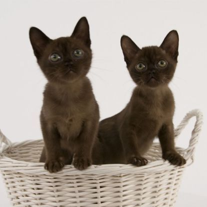 Burmese Cat Catbreeds Burmese Cat Breed Information Overview Characteristics Temperament Maintenance And Photos R Burmese Cat Cat Breeds Burmese Kittens