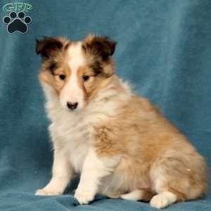 Sheltie Puppies For Sale Shetland Sheepdog Greenfield Puppies In 2020 Sheltie Puppy Sheep Dog Puppy Sheltie