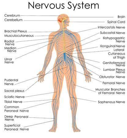 Nervous System Images