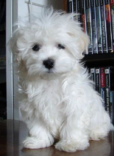 Image Result For Maltipoo Or Maltese Fluffy Dogs Cute Dogs