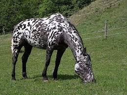 Image result for history of knabstrupper horses