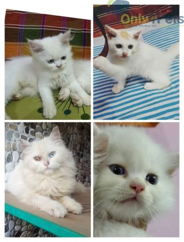 Pin By Only4pets On Only4pets Persian Kittens For Sale Cute