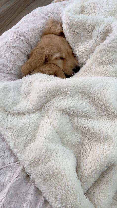 wilbur_minidox on Instagram: Night night belly rubs 💤🌟 . . . . . . . . #puppiesofinstagram #puppiesofig #dachshundloversdaily #dachshund_corner #picoftheday…