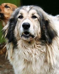 Stor Skon Hanhund Soger Nyt Hjem Kontakt Www Pro Canalba Eu Hundebeschreibung Pro Canalba E V Tiere Suchen Ein Zuhause Hunde Tiere