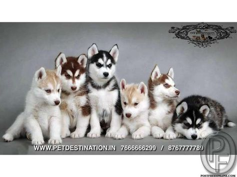 Siberian Husky Pups Available Only With Pet Destination