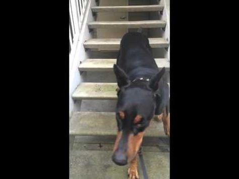 Duke The Doberman Backing Up Stairs Youtube Doberman Dog