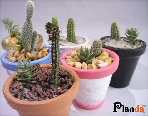 Encuentra el lugar correcto para colocar tus macetas con cactus y suculentas, para asegurar su desarrollo y una mejor vista de tus pequeñas plantas debes de tener en cuenta la ubicación y el riego...