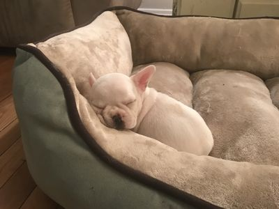 French Bulldog Puppies For Sale English Bulldog Puppies For Sale