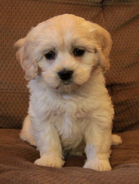 The Havanese Is Also Generally A Smaller Dog Typically Under 13lbs Full Grown W In 2020 Puppies Yorkshire Terrier Puppies Havanese Puppies