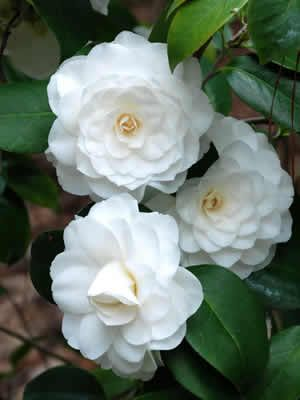 Camellia White By The Gate Shrubs Camellia Flower Flowers Shrubs For Sale