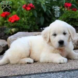 Bernie English Cream Golden Retriever Puppy For Sale In Pennsylvania Retriever Puppy Puppies Golden Retriever