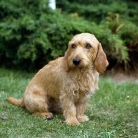 84 Basset Fauve De Bretagne Ideas Dogs Basset Greenland Dog