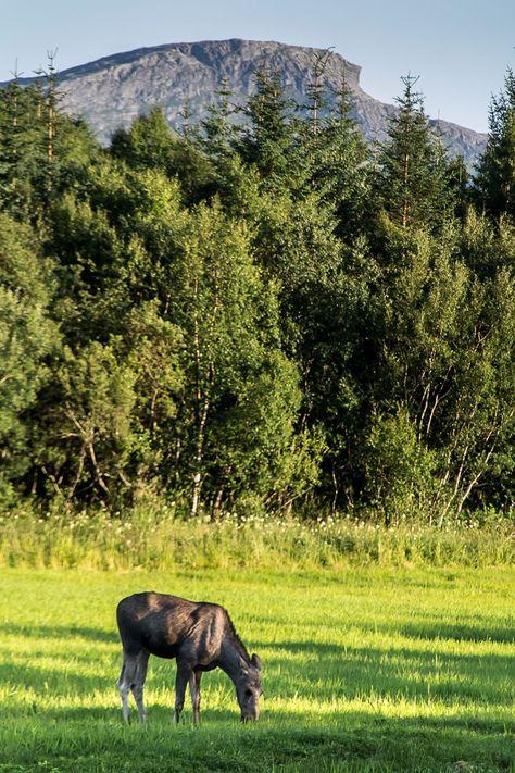 A lone moose calf grazing in a field near Brønnøysund ...