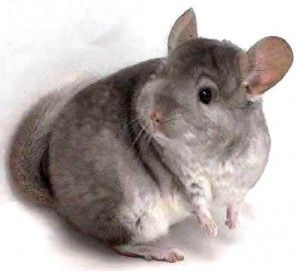Chinchillas For Sale A Guide To Buying Your First Animals