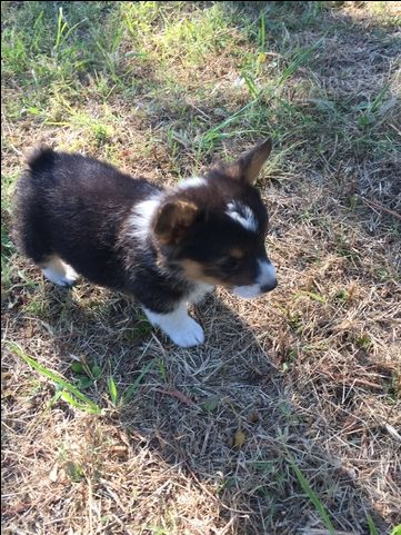 Litter Of 3 Pembroke Welsh Corgi Puppies For Sale In Comanche Tx